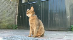 Abbyssinian cat sitting in front of a garage in a garden Stock Footage