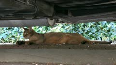 Cat seeking the shade under a car during hot weather Stock Footage