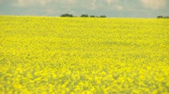 agriculture, canola crops long shot - stock footage