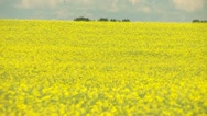 Agriculture, canola crops long shot Stock Footage