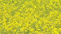Agriculture, canola crops full bloom, summer, close up Stock Footage
