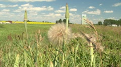 Thistle weed in the country side, close up Stock Footage
