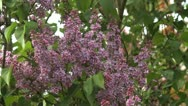 Stock Video Footage of Lilac tree
