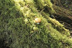 temperate rainforest, mushroom - stock photo
