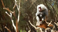 Macaque monkey portrait in Madrid zoo Stock Footage