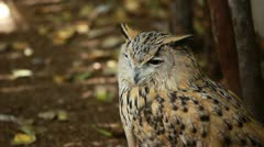 Stock Video Footage of Portrait of a great horned Owl