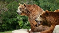 Brown bear looking for food in Madrid Zoo Stock Footage