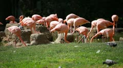Group of American Flamingo, green nature background. - stock footage