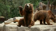 Stock Video Footage of Brown bear looking for food in Madrid Zoo
