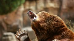 Brown bear looking for food Stock Footage