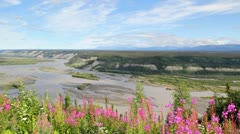 Fireweed with a view of the Copper River Stock Footage
