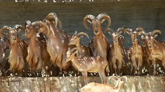 Barbary Sheep grazing on grass - Ammotragus lervia. Madrid Zoo Stock Footage