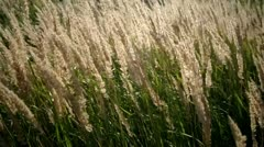 Green grass swaying in the wind. Stock Footage