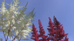 Red and white flowers, blue sky Stock Footage