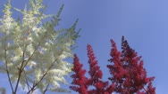 Stock Video Footage of Red and white flowers, blue sky