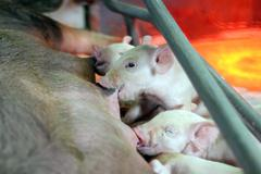 Suckling Piglets.jpg - stock photo