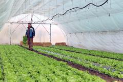 Greenhouse Vegetable Production Stock Photos