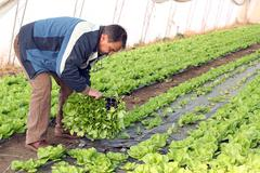 Senior Man Planting Lettuce - stock photo