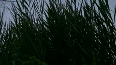 Long Dark Swamp Grass Stock Footage