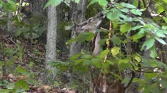 Amid Nature - Whitetail Deer Buck Eating Leaves in the Forest Stock Footage