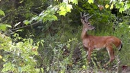 Stock Video Footage of Amid Nature - 4 Point Whitetail Buck Deer His Velvet Antler Stage