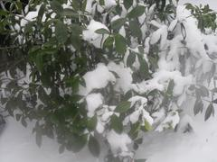 Snowy Bush - stock photo