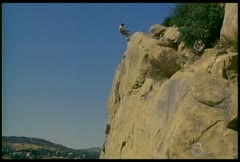 Stock Video Footage of A man rappels down a mountain.