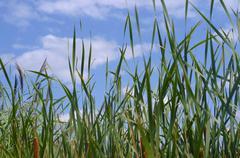 Beautiful Long Summer Grass Stock Photos