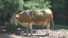 Beautiful cows grazing Stock Footage