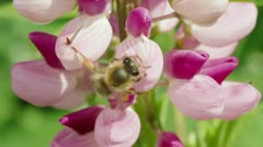 Bee collects nectar from pink flowers of lupine Stock Footage