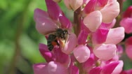 Bee collects nectar of lupine Stock Footage
