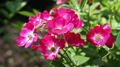 Wild roses in the garden Stock Footage