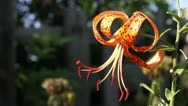 Blooming tiger lily Stock Footage