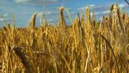Dolly down in wheat rye corn field Stock Footage