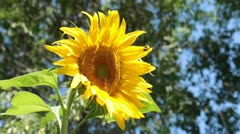Sunflower beautiful yellow in breeze P HD 2544 Stock Footage