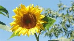 Sunflower in gentle breeze P HD 2540 Stock Footage