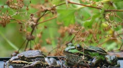 Frogs - two - croak - no audio Stock Footage