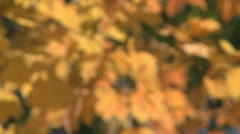 Fall colors - stock footage