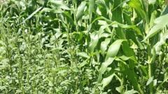 Corn field in light breeze family farm P HD 2545 Stock Footage