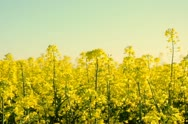Close up shot of yellow canola flowers Stock Footage