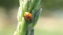Lady bug on farm corn tassel P HD 2558 - stock footage