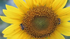 Sunflower with bees Stock Footage