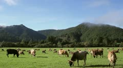 New Zealand cows grazing in a scenic landscape Stock Footage