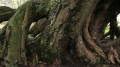 massive tree root system  (HD) c - stock footage