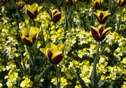 Stock Photo of red and yellow tulips