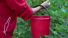 A woman collects red currants in a bucket, closeup Stock Footage