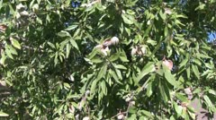 Almond tree with nuts Stock Footage