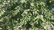 Stock Video Footage of almond tree with nuts