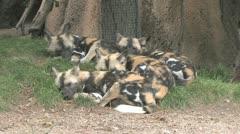 African Wilddog Stock Footage