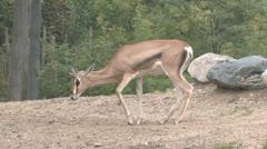Grant's Gazelle Stock Footage